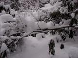 雪の重みで倒れて登山道を塞ぐクロソヨゴ