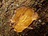 キハダの木肌