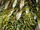 樹皮に着生するシダ