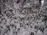 お揃いの雪の帽子を被ったエゾユズリハ