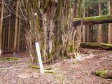 カツラの保存木