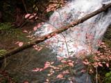 ヒメコマユミの紅葉
