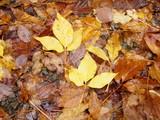 タカノツメの落葉