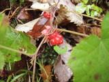 ミヤマフユイチゴの果実