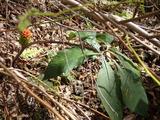 翌日上谷でアシウテンナンショウの果実に出会った