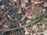 タヌキの溜糞場ではササが残っている