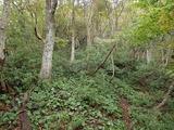森林の下層がアセビの灌木とオオイワカガミ