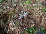 アオダイショウがモリアオガエルを呑もうとしていた