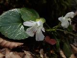 白花のイワウチワ