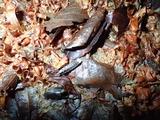 ホタルの幼虫を発行させて撮影