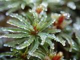 霜の付いたヒメタチゴケ
