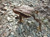 アズマヒキガエルが足を突っ張って四つん這い