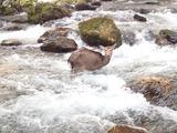 衰弱しているのか力なく川の中に立ちすくむ仔シカ