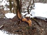 シカの樹皮剥ぎ カツラ 初めて見た