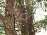 立ち枯れの木にシイタケ
