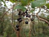 タンナサワフタギの果実