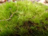 ヤマトフデゴケ 茎頂部が分離して無性生殖する