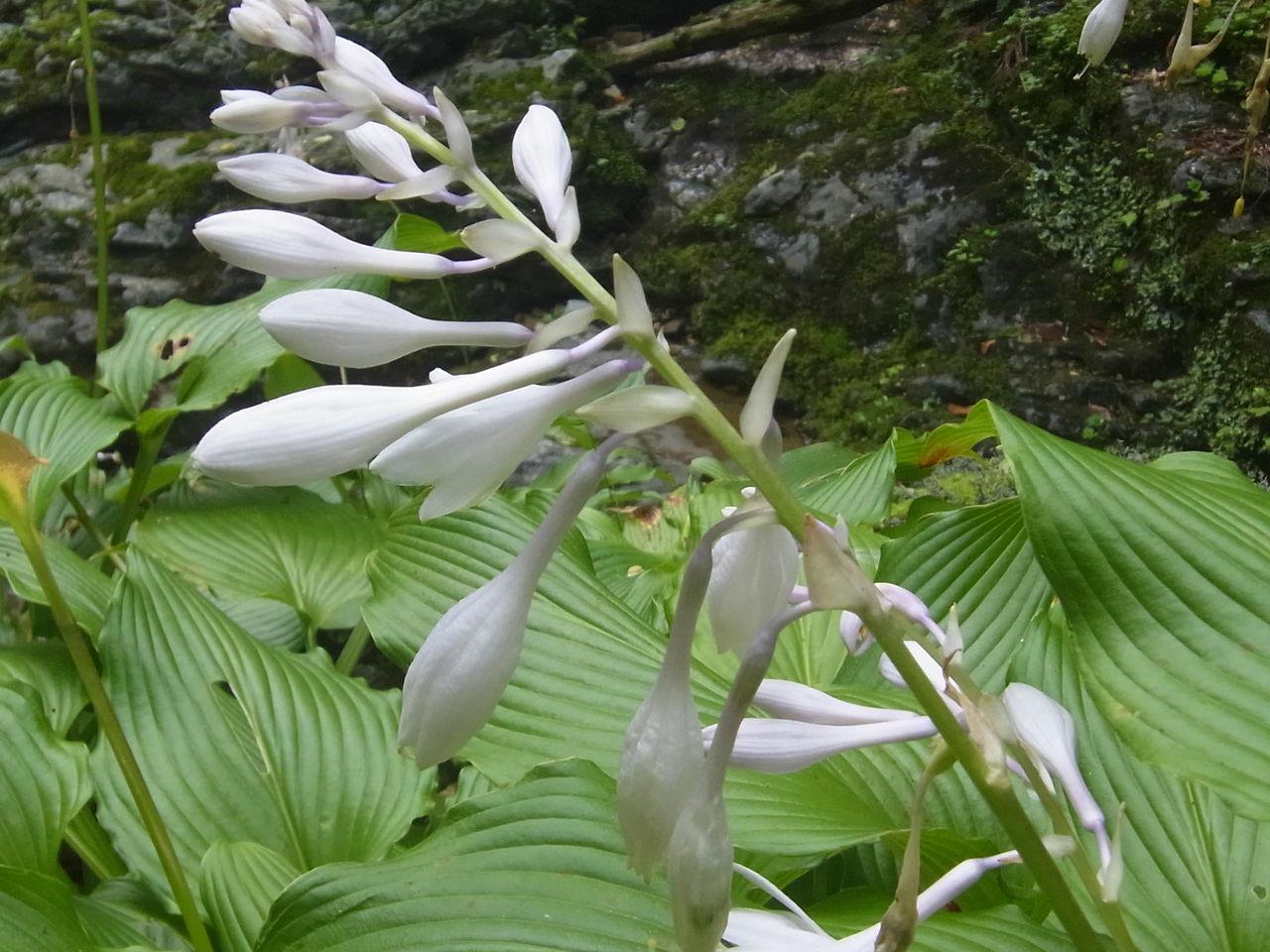 オオバギボウシの画像 p1_31
