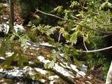 雹のためにミズナラの葉がボロボロ