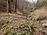 スベリ谷左俣(七瀬谷の本流)の上流 トリカブトの芽吹き