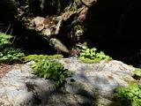 岩の上に着生するメノマンネングサ