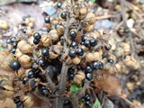 アカメガシワの果実 天候不順が原因か脂分が少ない