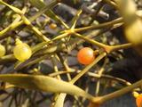 ヤドリギとカミヤドリギの果実