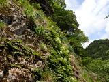 中ノツボ谷 岩場 ツルアジサイとゼンテイカが咲いている