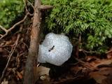 アワムシの巣 アリが溺れている コケはアラハシラガゴケ