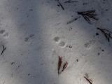 山の上にあったタヌキの足跡