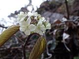 オオカメノキ 装飾花だけが咲いている