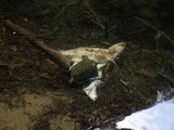 水中のシカの死体の一部にイシガメが