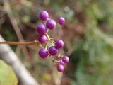 ムラサキシキブの果実