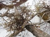 別の場所に落ちていたヤドリギの付いたブナの枝