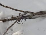 上の写真のブナの枝に付いたヤドリギは、きれいに食べられていた