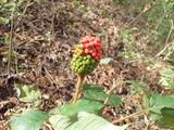 コウライテンナンショウの果実