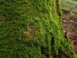 シシゴケ 中央の淡い緑はホソバオキナゴケ