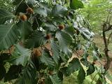 ブナの果実 今年は豊作のような気がする