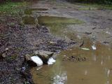 林道の水溜りにまで産卵している