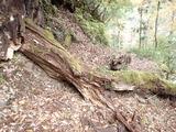 30年ほど前に倒れたミズナラの大木 ようやく折れていた