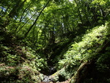 権蔵谷の支流 コアジサイが繁茂