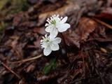 バイカオウレン 草本では最も早く咲く花の一つ