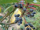 エゾユズリハの果実