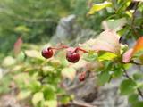 ナツハゼの果実 中ノツボではこんな高所にも自生している