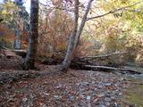 ブナの幹折れと道連れになったブナの根返り倒木