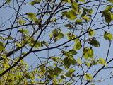 ブナの花(オバナ)がいっぱい付いている 今年は豊作か