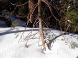 雪の沈降圧によってスギの枝が引っ張られている