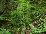ヤマソテツの胞子葉
