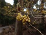 ダンコウバイの花が終わった痕