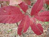 メグスリノキの紅葉